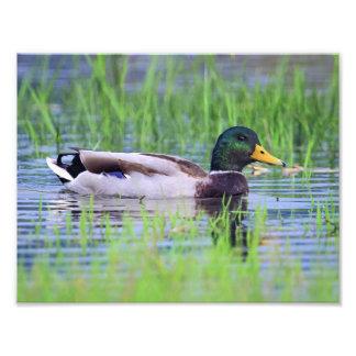 Male mallard duck floating on the water photo print