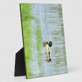 Male mallard duck floating on the water plaque