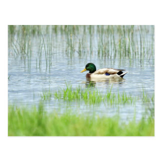 Male mallard duck floating on the water postcard