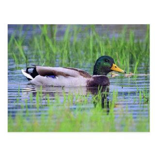 Male mallard duck floating on the water postcard