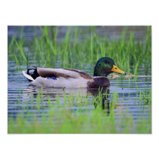 Male mallard duck floating on the water poster