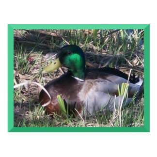 Male Mallard Duck Postcard