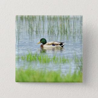 Male mallard or wild duck, anas platyrhynchos 2 inch square button