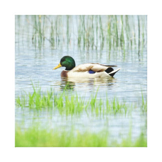 Male mallard or wild duck, anas platyrhynchos canvas print