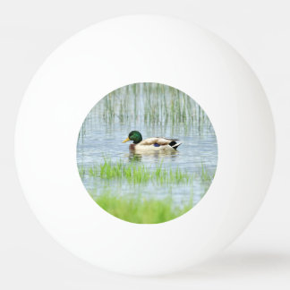 Male mallard or wild duck, anas platyrhynchos ping pong ball
