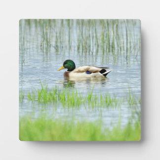Male mallard or wild duck, anas platyrhynchos plaque