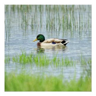 Male mallard or wild duck, anas platyrhynchos poster
