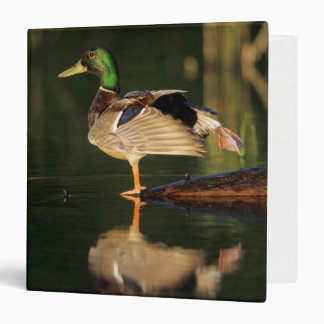 Male mallard stretching, Illinois 3 Ring Binder