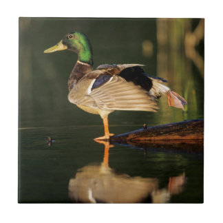 Male mallard stretching, Illinois Tile