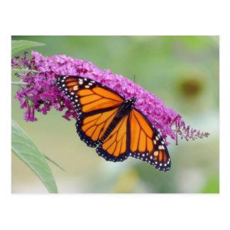 Male Monarch on Butterfly Bush Postcard