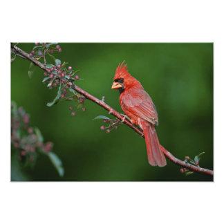 Male Northern Cardinal, Cardinalis Photo