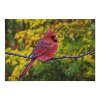 Male Northern Cardinal in autumn, Cardinalis Photograph