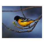 Male Northern Oriole, formerly Baltimore Oriole Poster