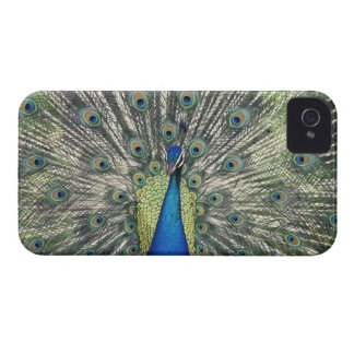 Male Peacock displaying (Pavo cristatus) iPhone 4 Cover