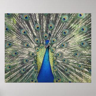 Male Peacock displaying (Pavo cristatus) Print