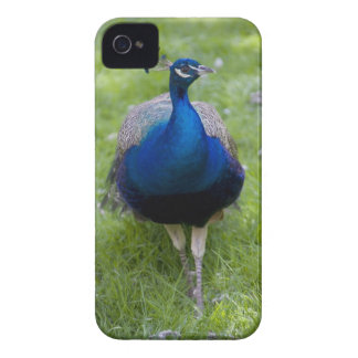 Male peacock (Pavo cristatus) iPhone 4 Case
