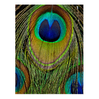 Male peacock tail feathers postcard
