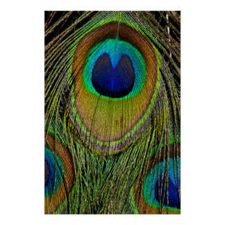 Male peacock tail feathers poster