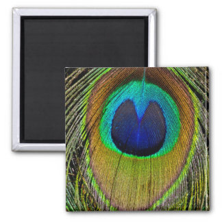 Male peacock tail feathers square magnet