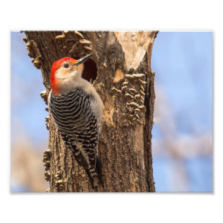 Male Red Bellied Woodpecker Photography Print