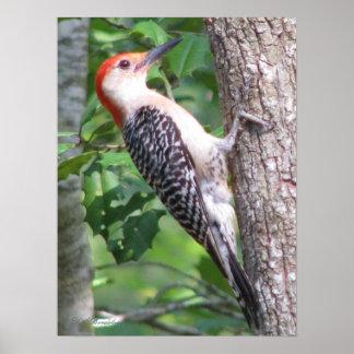Male Red-bellied Woodpecker Poster