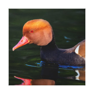 Male red-crested pochard, netta rufina, duck canvas print