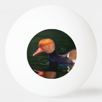 Male red-crested pochard, netta rufina, duck ping pong ball
