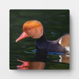 Male red-crested pochard, netta rufina, duck plaque