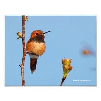 Male Rufous Hummingbird Poses for the Lens Photo Art