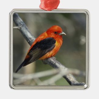 Male Scarlet Tanager, Piranga olivacea Silver-Colored Square Ornament