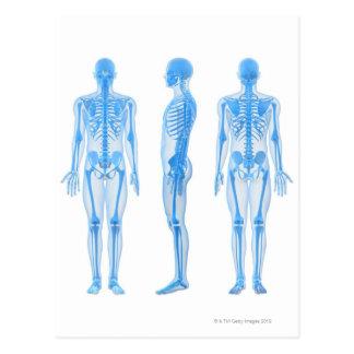 Male Skeleton Postcard