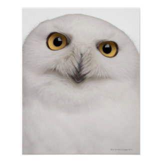 male Snowy Owl (Bubo scandiacus) is a large owl Poster