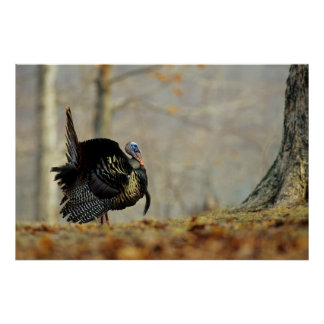 Male turkey strutting, Illinois Poster