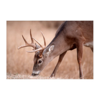 Male whitetail deer grazing acrylic wall art