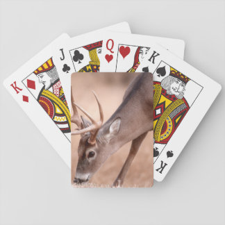Male whitetail deer grazing playing cards