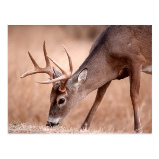 Male whitetail deer grazing postcard