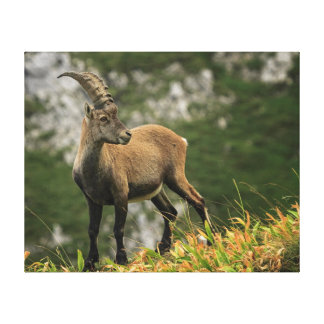 Male wild alpine, capra ibex, or steinbock canvas print