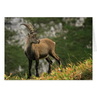 Male wild alpine, capra ibex, or steinbock card