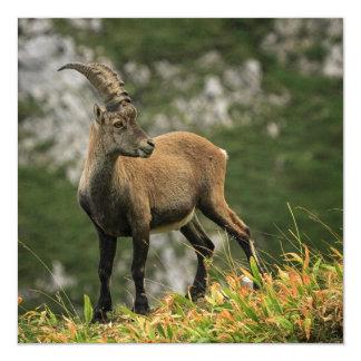 Male wild alpine, capra ibex, or steinbock card