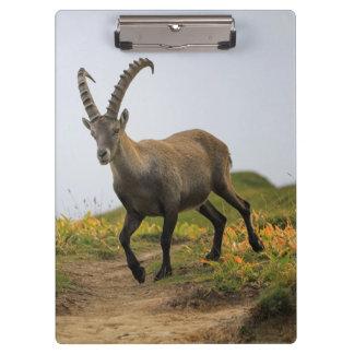 Male wild alpine, capra ibex, or steinbock clipboard