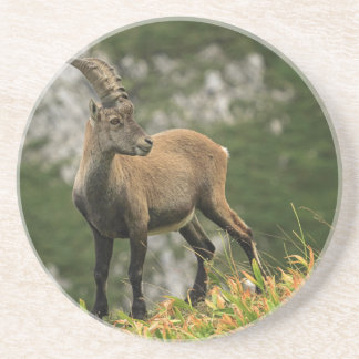 Male wild alpine, capra ibex, or steinbock coaster