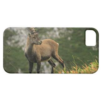 Male wild alpine, capra ibex, or steinbock iPhone 5 cases