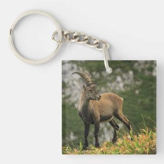 Male wild alpine, capra ibex, or steinbock keychain