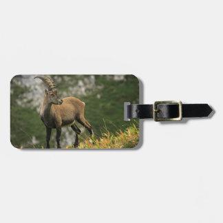 Male wild alpine, capra ibex, or steinbock luggage tag