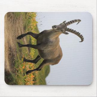 Male wild alpine, capra ibex, or steinbock mouse pad