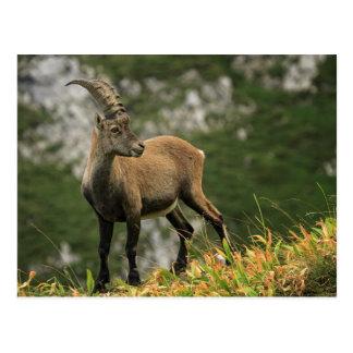 Male wild alpine, capra ibex, or steinbock postcard