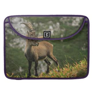 Male wild alpine, capra ibex, or steinbock sleeve for MacBook pro