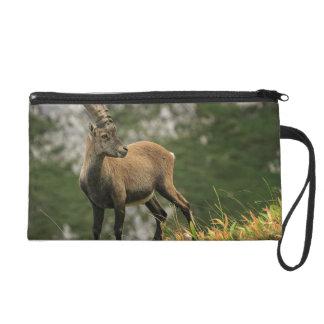 Male wild alpine, capra ibex, or steinbock wristlet