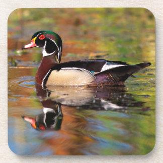 Male wood duck swims, California Coasters