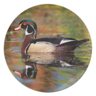 Male wood duck swims, California Dinner Plate